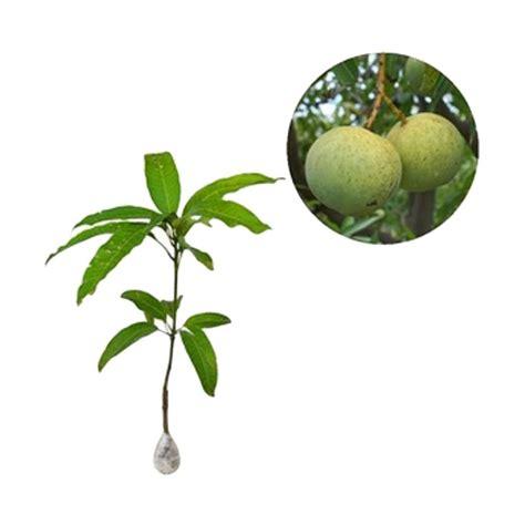 tanaman buah mangga kelapa 60cm jual kebun bibit mangga kelapa tanaman buah 60 cm
