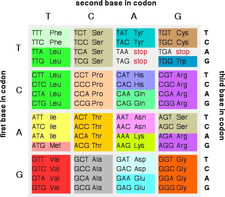 How To Search For On Amino The Genetic Code