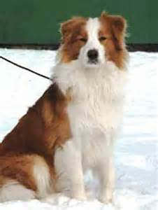 why are golden retrievers called golden retrievers border collie golden retriever mix history