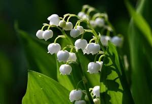 lily of the valley the flowers avenue