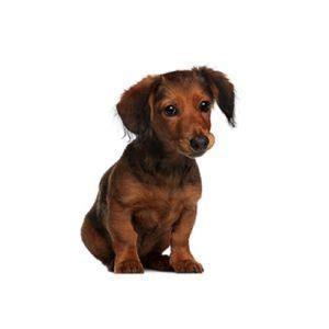 dachshund puppies san antonio dachshund puppies petland san antonio