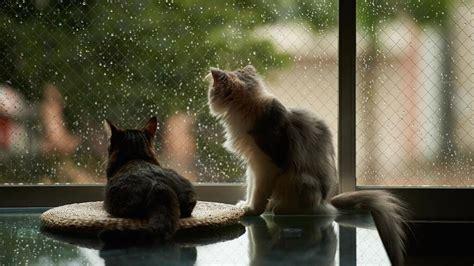 cats watching raindrops wallpaper  cats downloads