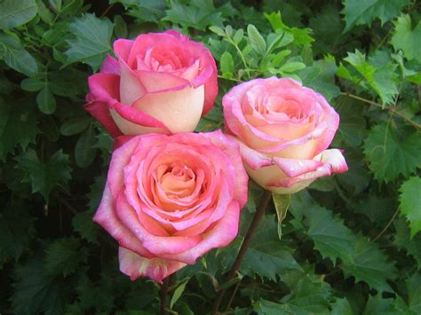 rose s pink roses world of photography