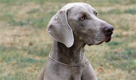 weimaraner dogs weimaraner breed information