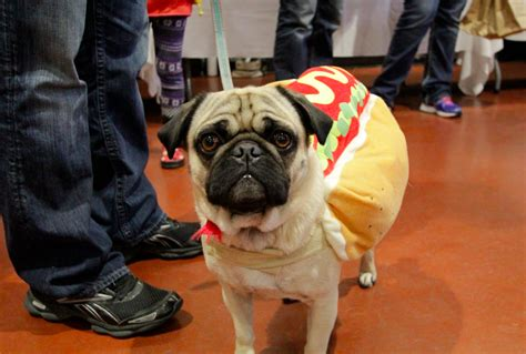 pug wearing pug costume pugs gathered for pugstock today and obviously they were wearing costumes and it