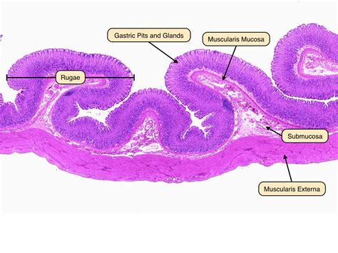 stomach cross section gastric glands