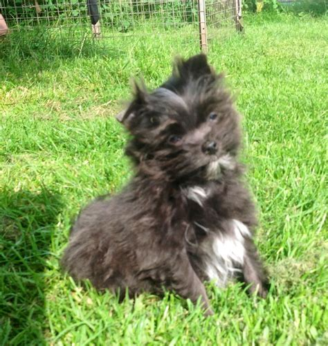 maltese pomeranian cross maltese cross pomeranian puppies grimsby lincolnshire pets4homes