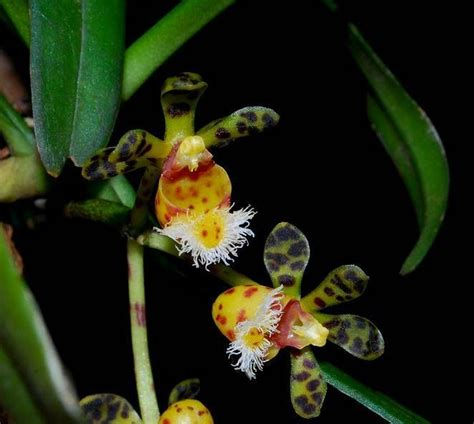 100 facts about orchids 6 incredible flowers that 92 best orchids of nepal images on pinterest lilies