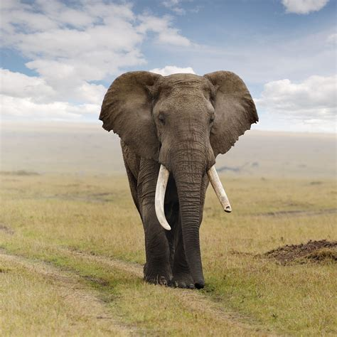 Elephant HD Wallpapers