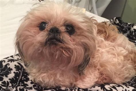shih tzu kidney failure banjo was diagnosed with kidney failure dr harvey s