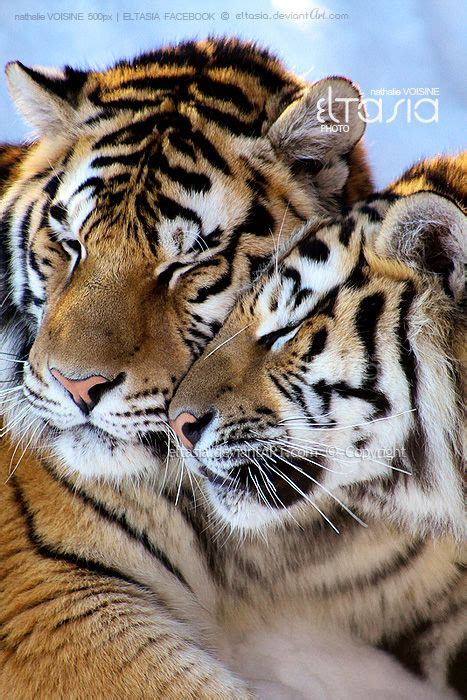 top 25 ideas about tiger on white the 25 best tiger ideas on white tigers