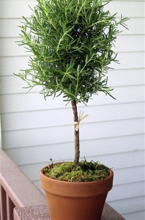 live rosemary topiary 100 best images about easy to grow house plants on
