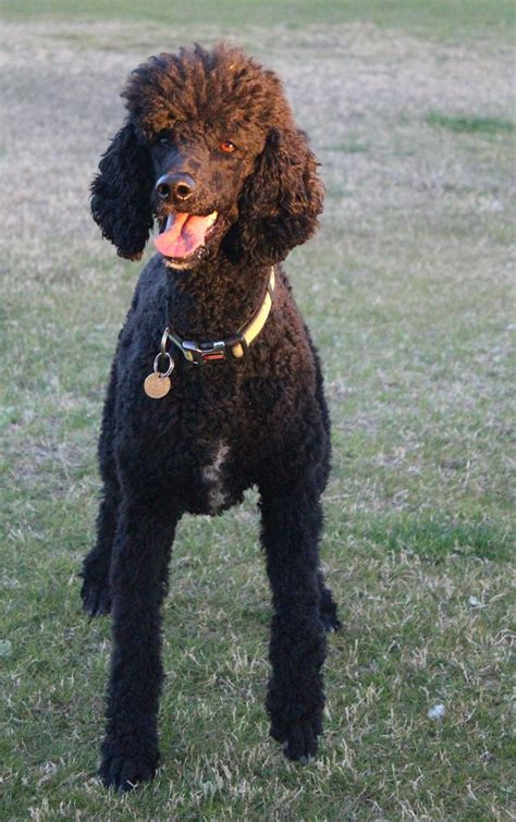 dogs for sale tucson standard poodle puppies for sale tucson merry photo