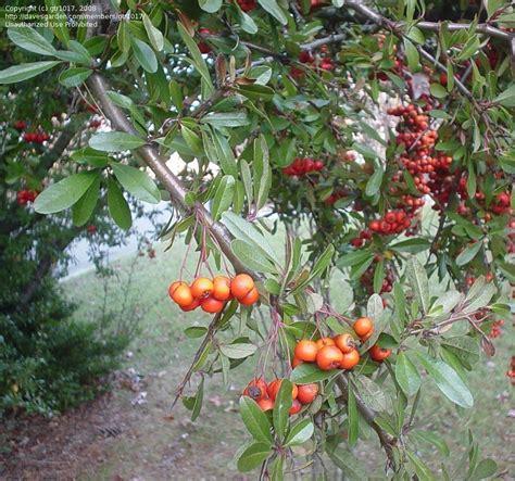 plant identification closed id tree w orange berries 1 by gtr1017