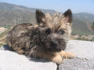 pictures of cairn terrier haircuts cairn terrier hair cuts hairstyle galleries