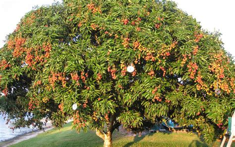 fruit trees garden tropical fruit trees lychee