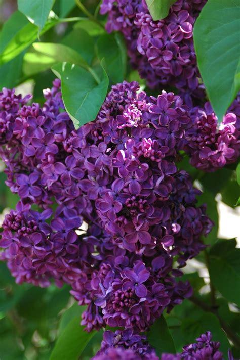 purple lilac dark purple lilacs purples pinterest