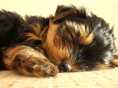 best food for yorkie puppies best food for yorkies their health yorkie puppies you