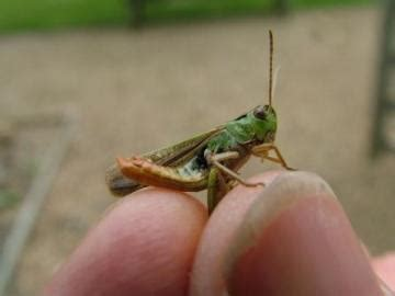 image gallery lotus insect