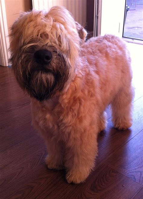 wheaten haircuts 17 best images about ted on pinterest the o jays new