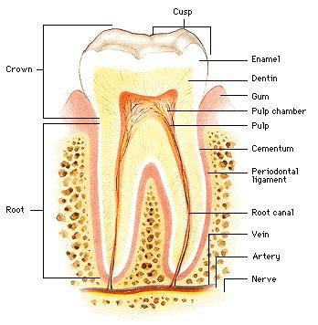 dental section tooth cervix cej cementoenamel junction cervix dentis
