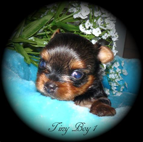 yorkies for sale vancouver yorkies for sale in columbia canada baby doll yorkies for sale in b c canada
