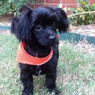 judy s puppy nursery 49 best images about shih poo and shih tzu on poodles and image