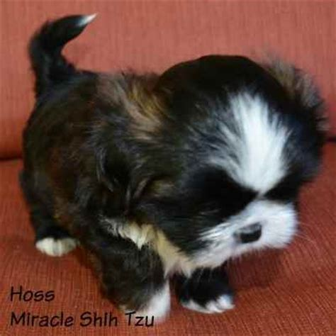 shih tzu puppies for sale in cleveland ohio shih tzu puppies for sale in ne ohio cleveland akron
