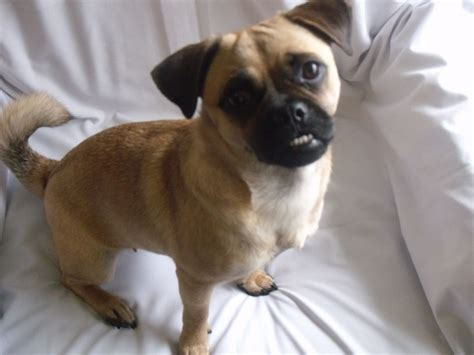 pug puppies for sale in manchester 3 4 pug puppies for sale dukinfield greater manchester pets4homes