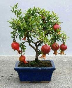 Delima Mini Mini Pomegranate bonsai de frutas como cuidar e dicas de esp 233 cies para