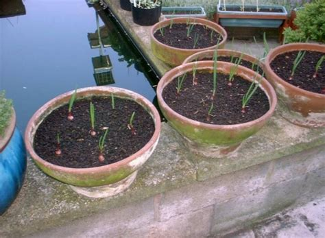 Furadan Bawang Merah cara menanam bawang merah di pot bibitbunga