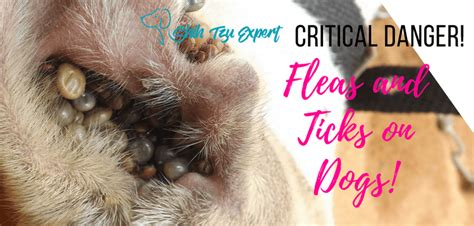 shih tzu itching no fleas fleas and ticks on dogs how to and the critical dangers