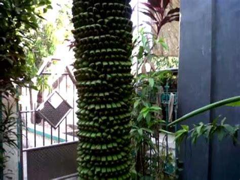 Bibit Pohon Pisang Seribu wow pisang seribu