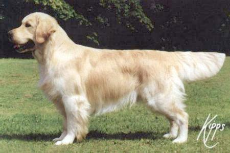 stanroph golden retrievers golden retriever pedigree of puppies shirley and pasadena
