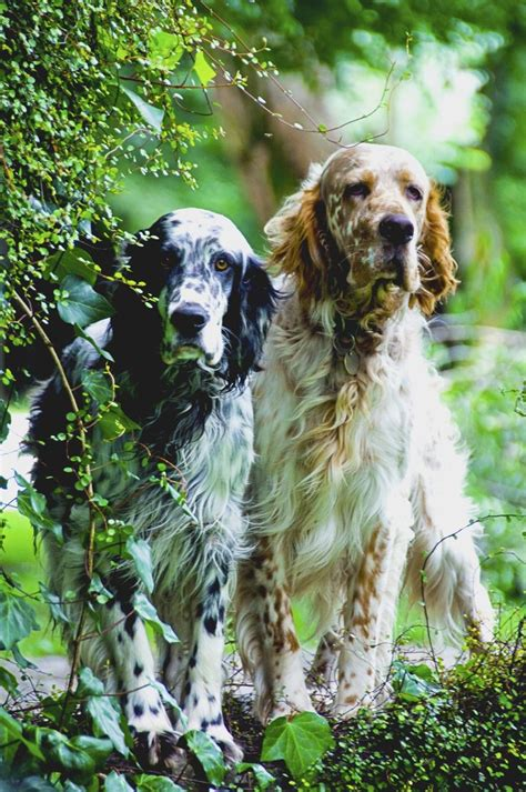 48 best images about english setter on pinterest 17 best images about english setter love on pinterest