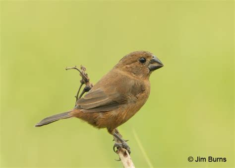 thick billed seed finch male long hairstyles