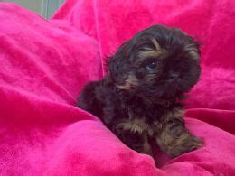 shih tzu puppies for sale in dorset and hshire shih tzu dogs and puppies for sale in the uk pets4homes