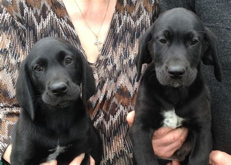 german shorthaired lab puppies labrador retriever x german shorthaired pointer pu march cambridgeshire pets4homes