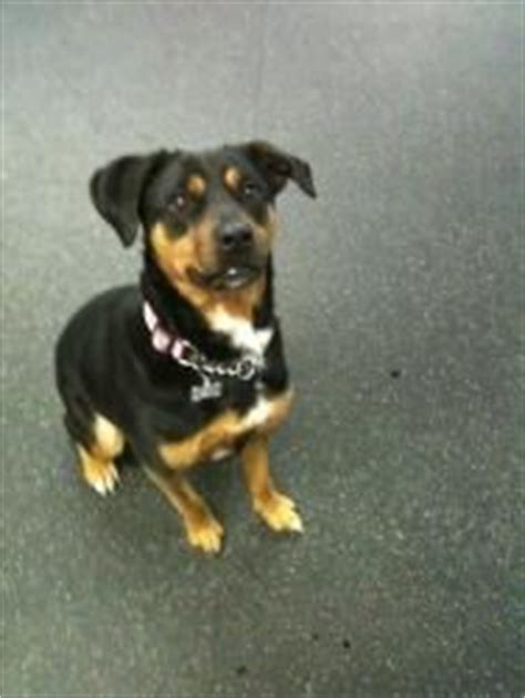beagle and rottweiler mix beagle rottweiler mix that looks just like my ricky friends