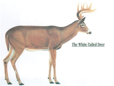 whitetail deer diagram anatomy of a whitetail deer