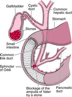 gallstones and gallbladder disease university of gallery gallbladder and bile duct human anatomy chart