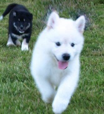 free puppies in nyc gorgeous siberian husky puppies offer new york pets free pets to