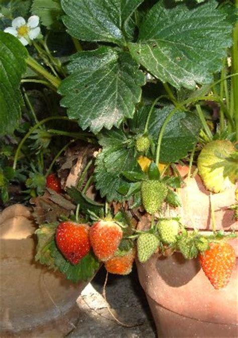 vasi per fragole dimensioni dei vasi per la coltivazione di ortaggi 2 l
