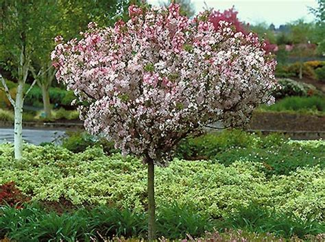 Wedding Bouquet Crabapple Tree by Coral Burst Crab Apple Trees Chris Bowers