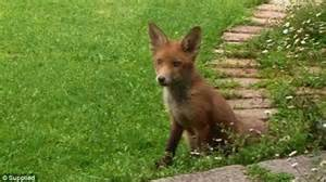 red fox in backyard melbourne family return from holidays to find feral foxes
