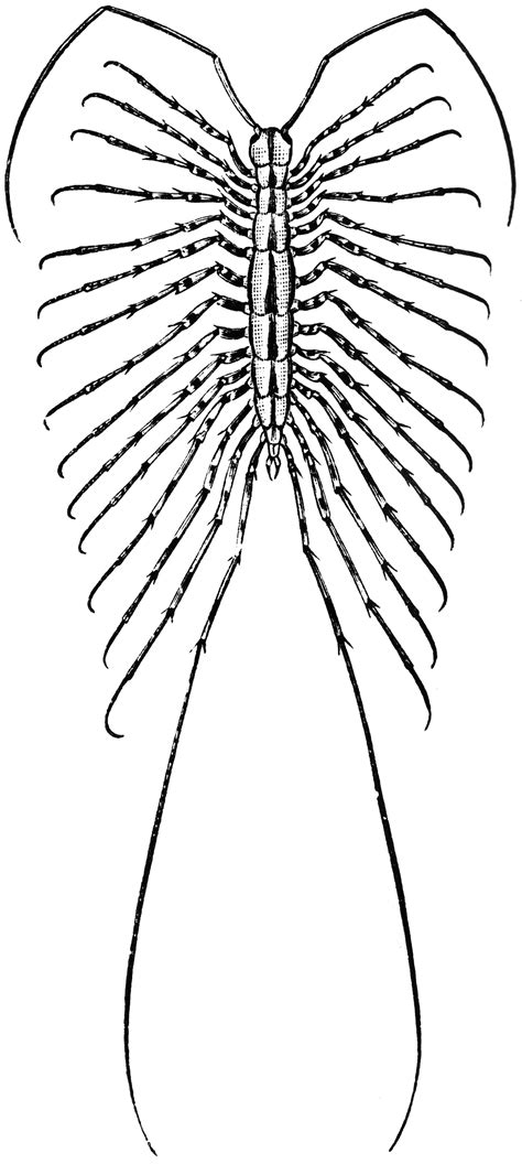house centipede clipart
