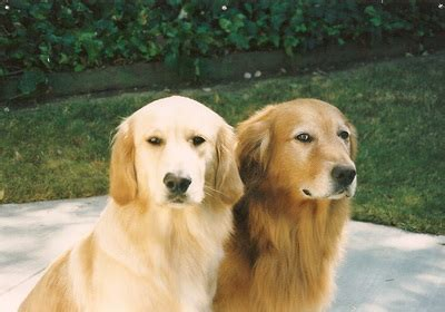 golden acres retrievers welcome to golden acres akc golden retrievers and