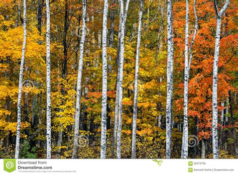 Autumn White by Autumn White Birch Wood Stock Photo Image 62373756