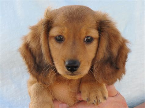 golden dachshund puppies liam golden dachshund puppy dachshund puppies