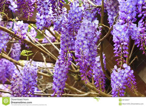 copy right free pictures of purple wisteria purple wisteria flowers bean tree wisteria purple vine royalty free stock photo